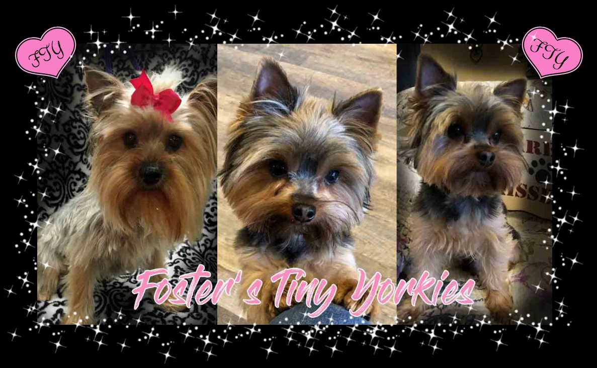 Tiny Yorkies for Sale in Texas
